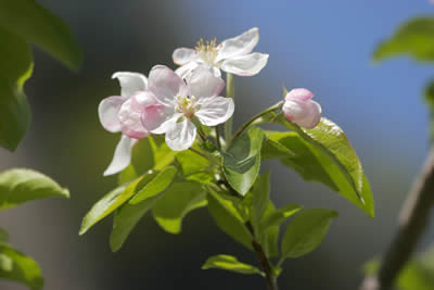 apple meadows turn into a sea of blossom